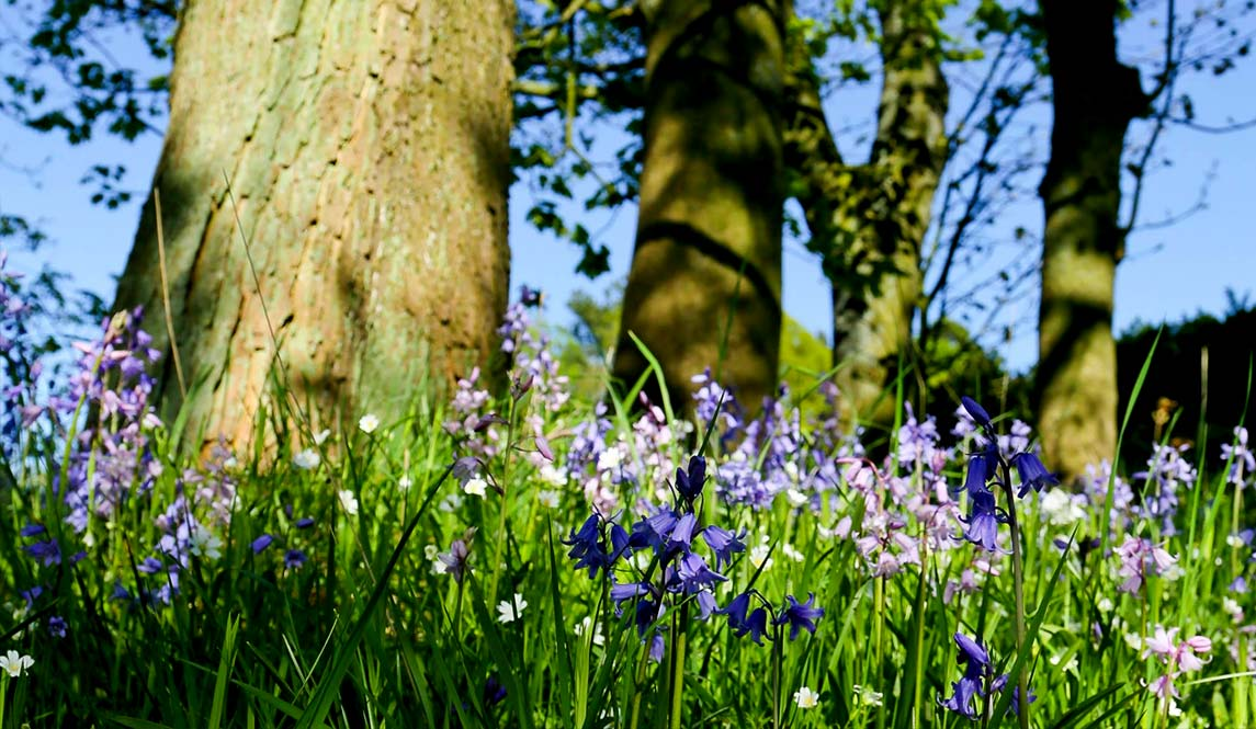 spring bluebells at Eighteen97 B&B